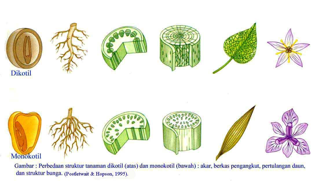 Tumbuhan Dikotil Dan Monokotil Sdngundih S Blog