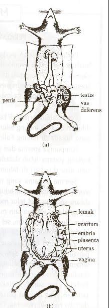 Cara memasukan pene ke vagina